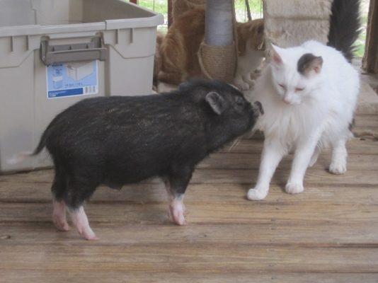 cerdo y gato